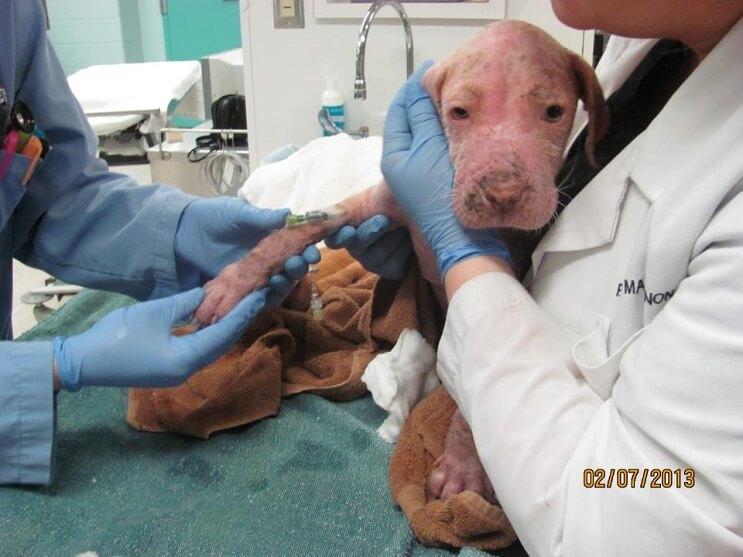 Este Pit Bull no puede creer que su rescatador haya regresado para adoptarlo 02