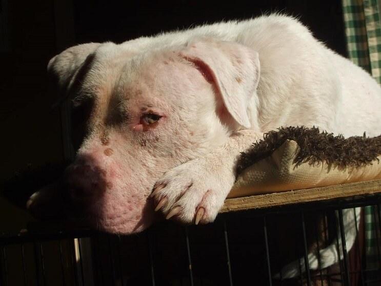 Este Pit Bull no puede creer que su rescatador haya regresado para adoptarlo 08