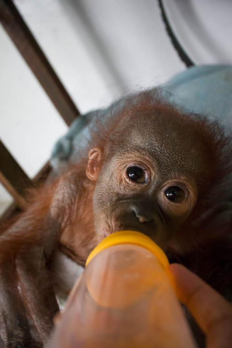 Este bebé orangután estuvo a punto de morir abandonado con una bala en el hombro 02