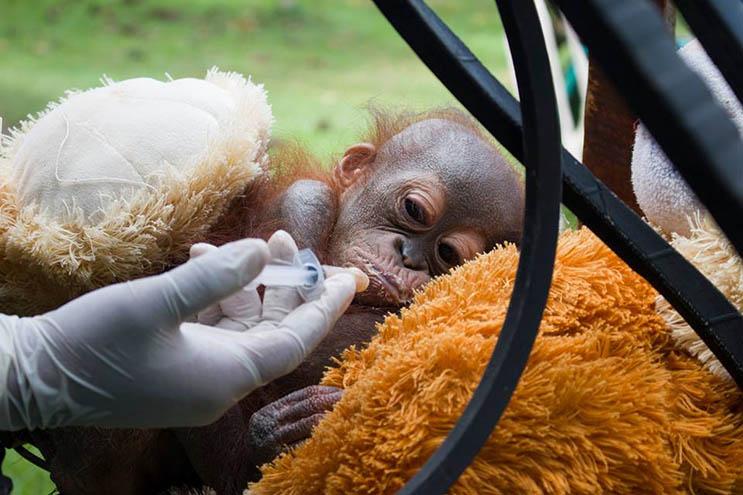 Este bebé orangután estuvo a punto de morir abandonado con una bala en el hombro 05