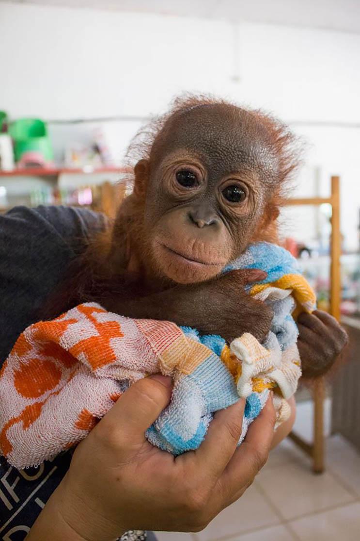 Este bebé orangután estuvo a punto de morir abandonado con una bala en el hombro 07