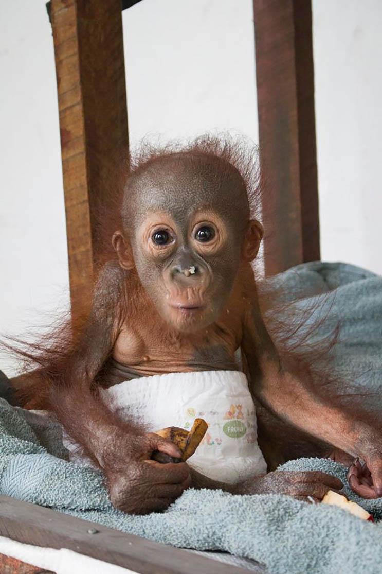 Este bebé orangután estuvo a punto de morir abandonado con una bala en el hombro