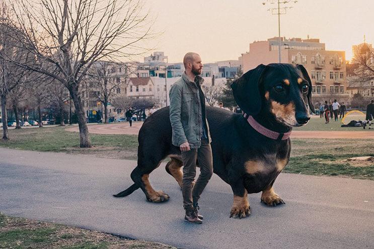 Este fotógrafo nos ayuda a ver lo grande que es su perro salchicha 03