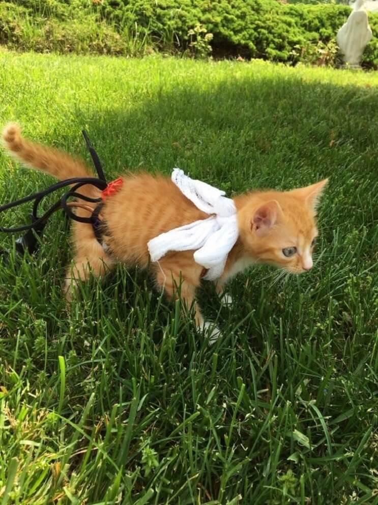 Este gatito no podía caminar pero con su nuevo par de ruedas nada lo detiene 02
