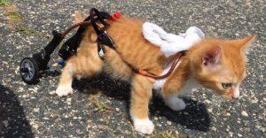 Este gatito no podía caminar pero con su nuevo par de ruedas nada lo detiene
