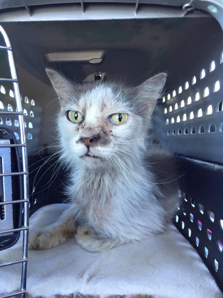 Este gato fue adoptado de adulto y no deja de agradecer tal oportunidad 01