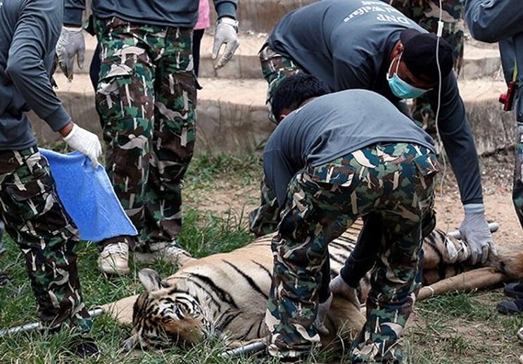 Hallan 40 cachorros de tigre en peligro de extinción muertos dentro de Templo Budista 04-final