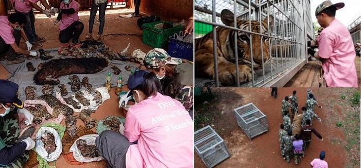 Hallan 40 cachorros de tigre en peligro de extinción muertos dentro de Templo Budista 05