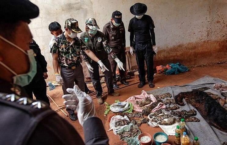 Hallan 40 cachorros de tigre en peligro de extinción muertos dentro de Templo Budista 06