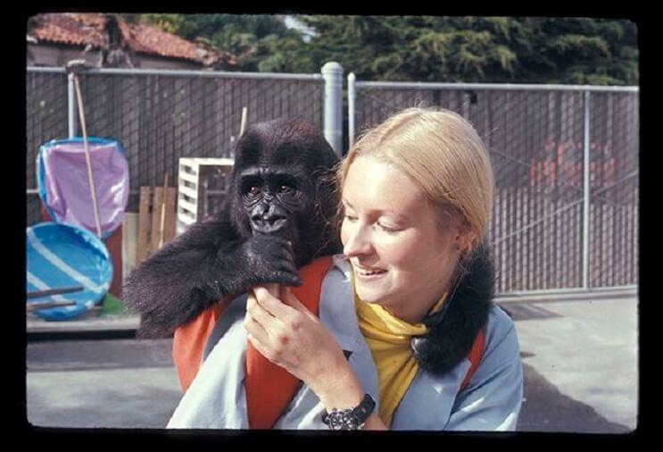 Koko, el gorila que se comunica con los humanos 02