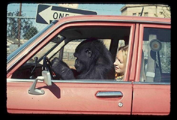 Koko, el gorila que se comunica con los humanos 03
