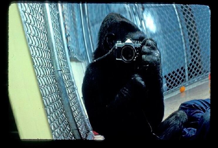Koko, el gorila que se comunica con los humanos 04