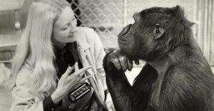 Koko, el gorila que se comunica con los humanos