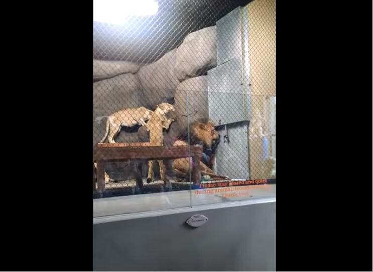 Lo que le sucedió a este león nos muestra porqué los animales no deberían estar en cautiverio - Zawadi 1