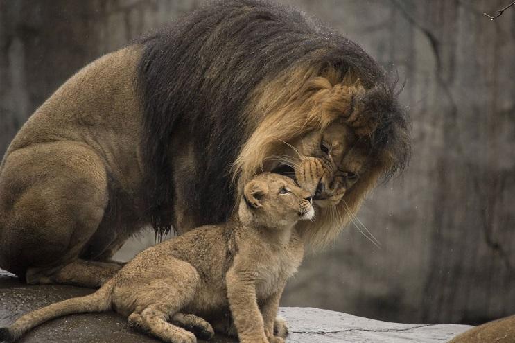 Lo que le sucedió a este león nos muestra porqué los animales no deberían estar en cautiverio - Zawadi 2