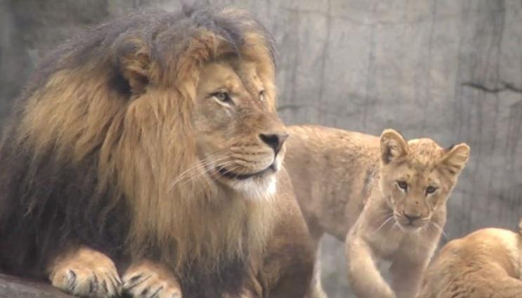 Lo que le sucedió a este león nos muestra porqué los animales no deberían estar en cautiverio - Zawadi