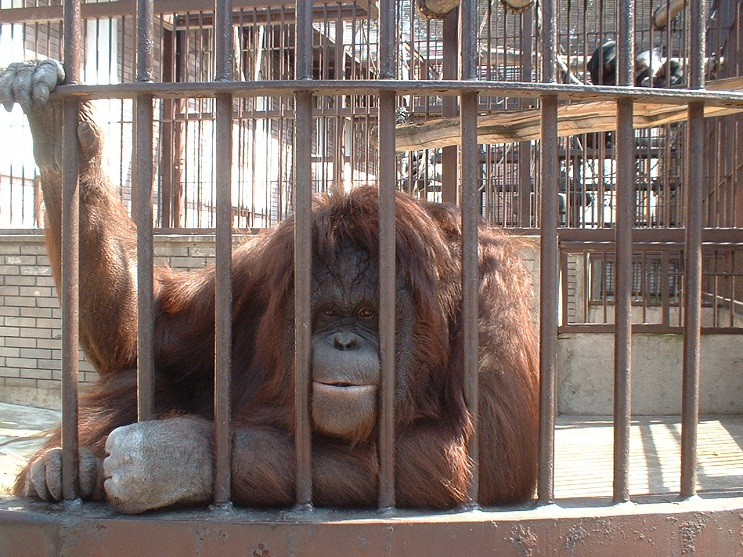 Lo que le sucedió a este león nos muestra porqué los animales no deberían estar en cautiverio - orangután