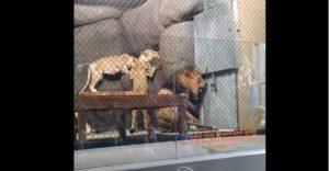 Lo que le sucedió a este león nos muestra porqué los animales no deberían estar en cautiverio