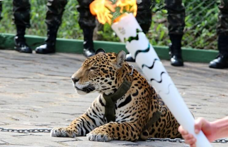Matan a jaguar durante ceremonia de la antorcha olímpica 01