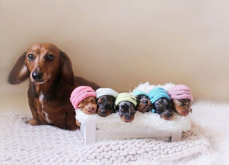 """Nada más lindo que estos cachorros """"salchicha"""" 02"""