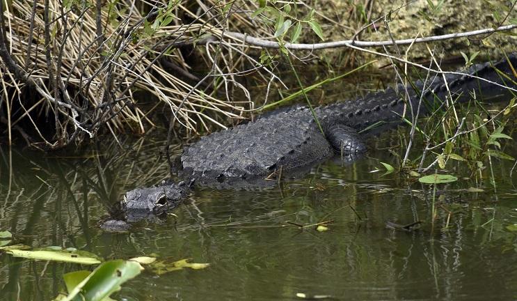 Trágica muerte de niño por caimán desata nuevamente polémica sobre la convivencia entre humanos y animales salvajes - caimán