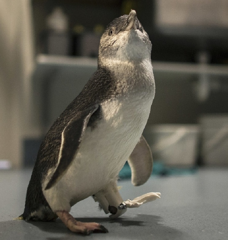Un pingüino consigue volver a andar gracias a las impresiones 3D 2