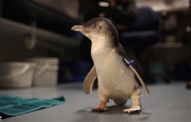 Un pingüino consigue volver a andar gracias a las impresiones 3D 7