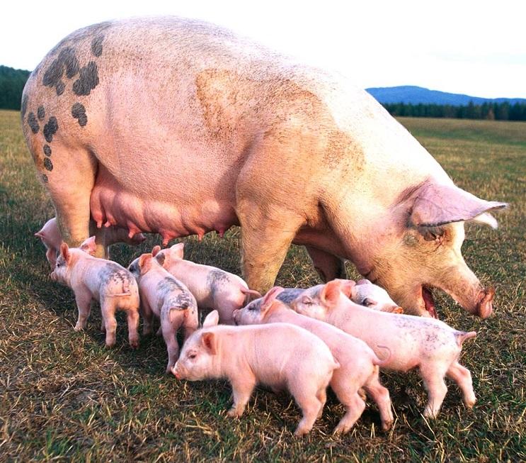 cientificos crean organos de humanos en cerdos - 01