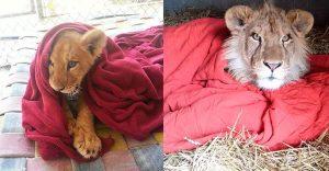 Este tierno león no puede dejar de lado su adorada manta