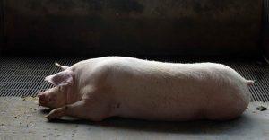 Científicos crean órganos humanos en cerdos