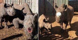 A esta rinoceronte le cortaron los cuernos pero todavía tenía una razón para vivir
