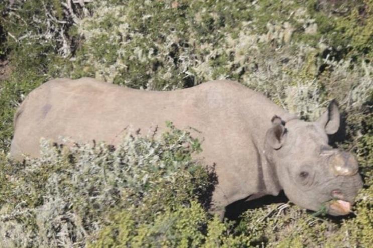 A ésta rinoceronte la cortaron los cuernos pero todavía tenía una razón para vivir 03