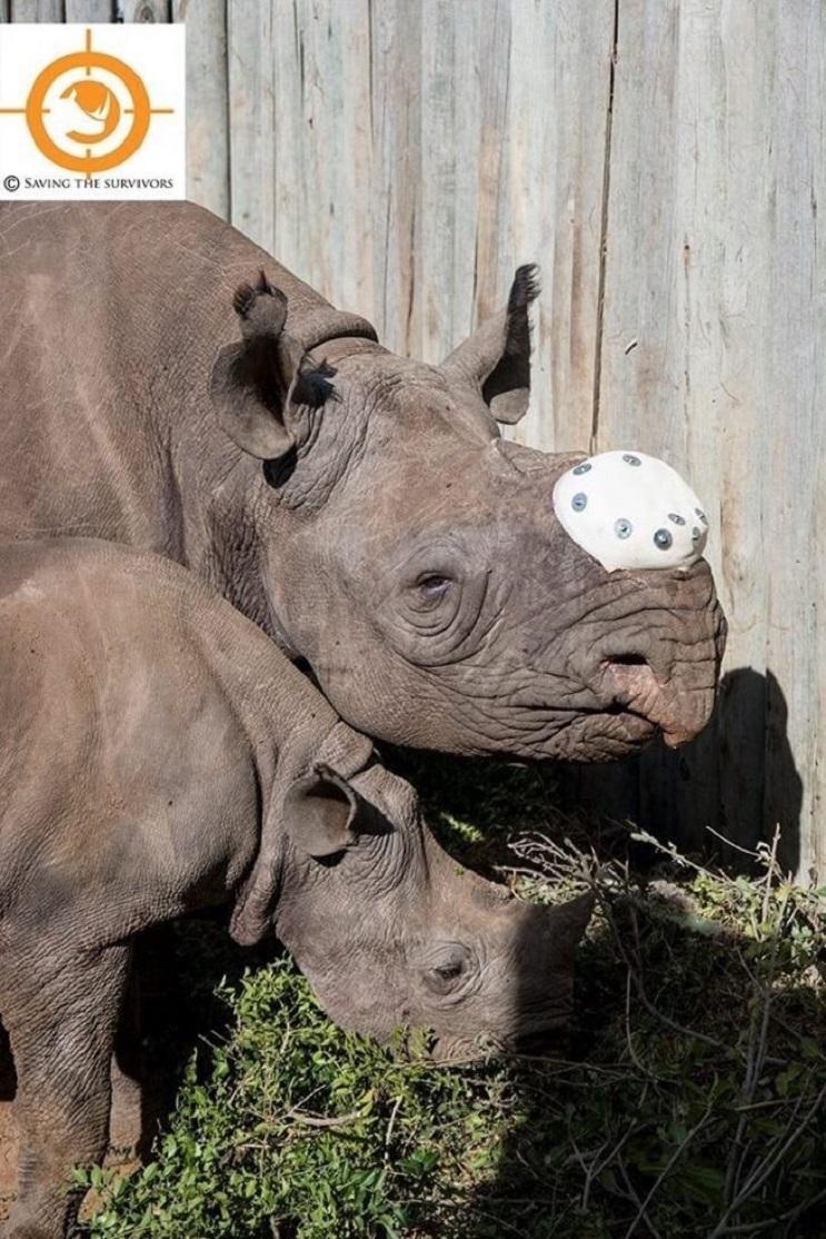 A ésta rinoceronte la cortaron los cuernos pero todavía tenía una razón para vivir 04