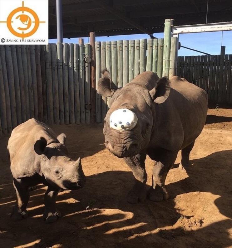 A ésta rinoceronte la cortaron los cuernos pero todavía tenía una razón para vivir 05