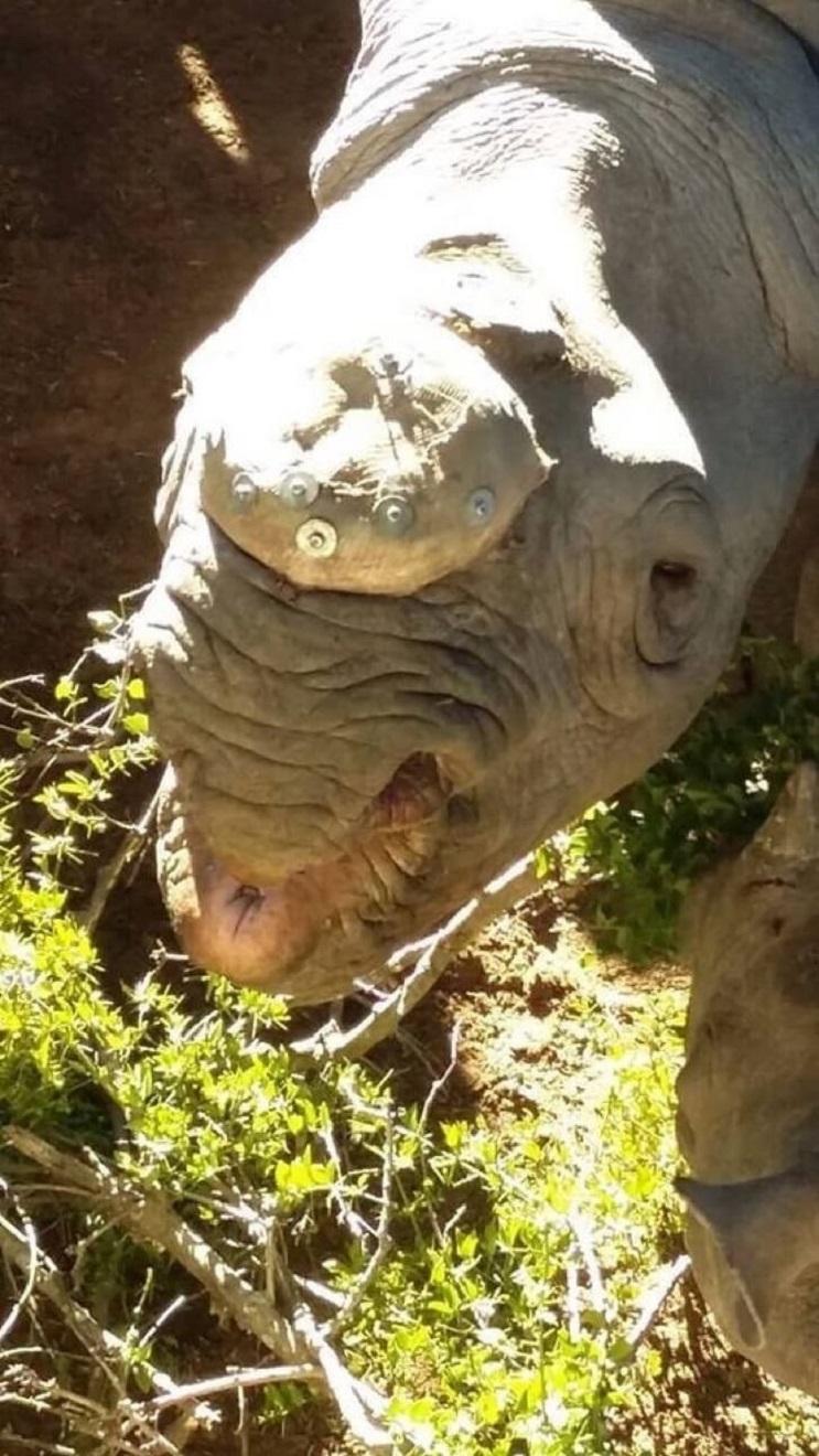 A ésta rinoceronte la cortaron los cuernos pero todavía tenía una razón para vivir 06