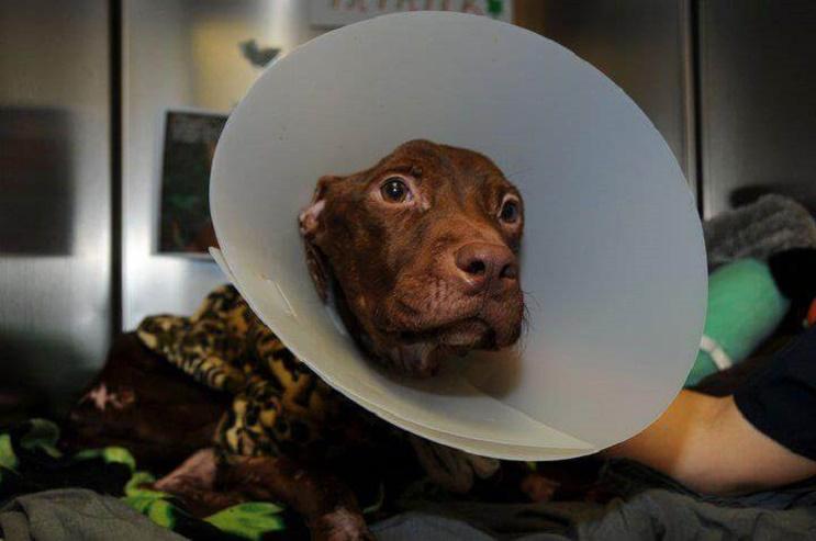 A este perro lo dieron por muerto pero se aferró a la vida y hoy tiene una segunda oportunidad 02