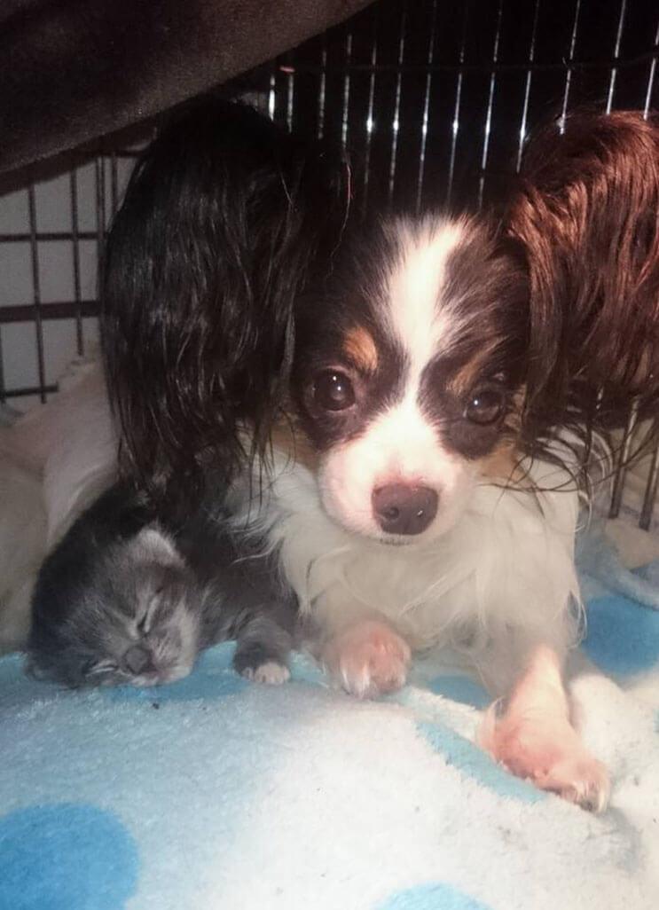 Conoce la adorable historia de Greta, una perrita que adopto tres gatitos 2