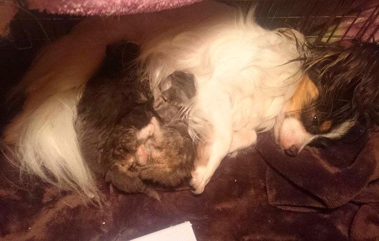 Conoce la adorable historia de Greta, una perrita que adopto tres gatitos 4