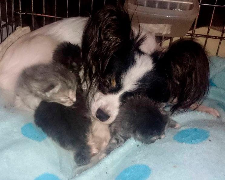 Conoce la adorable historia de Greta, una perrita que adopto tres gatitos 5