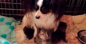 Conoce la adorable historia de Greta, una perrita que adoptó tres gatitos