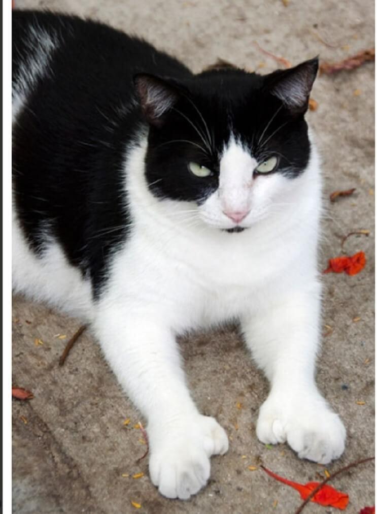 Conoce los magníficos gatos polidáctiles de Ernest Hemingway 12