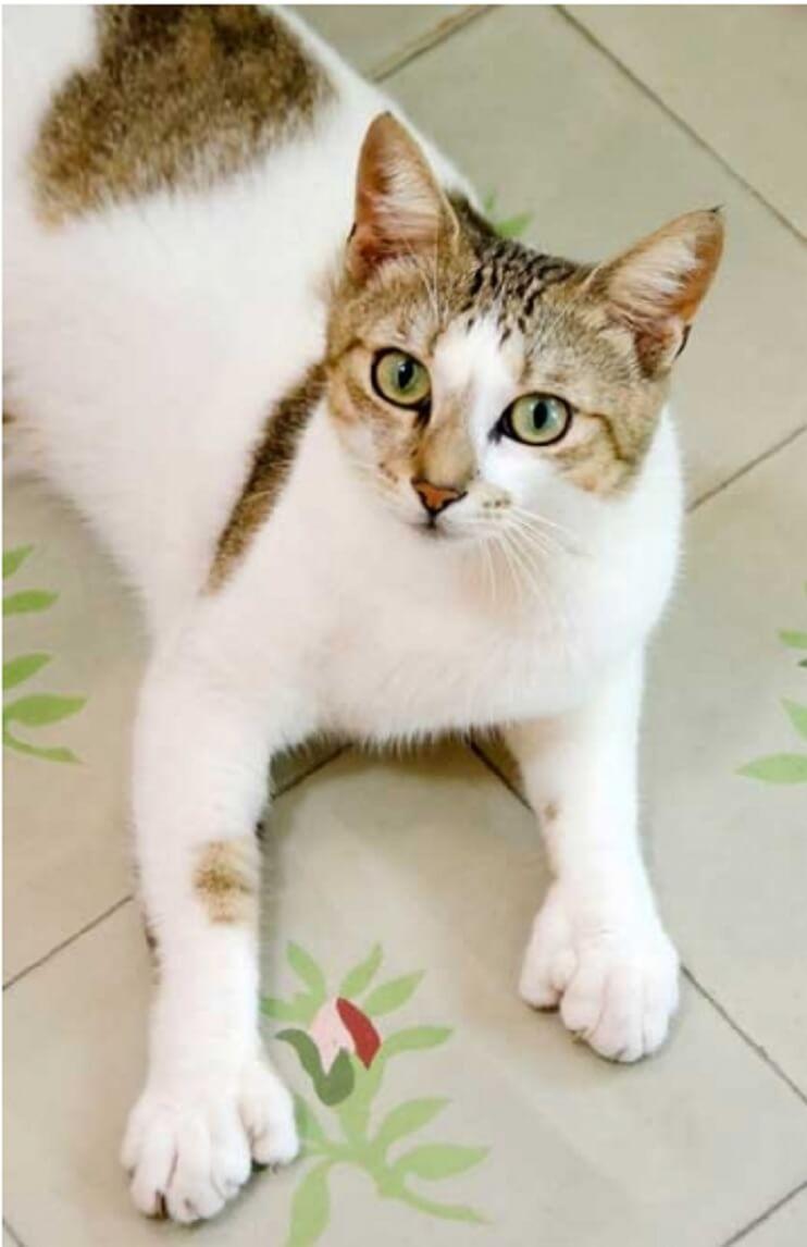 Conoce los magníficos gatos polidáctiles de Ernest Hemingway 13