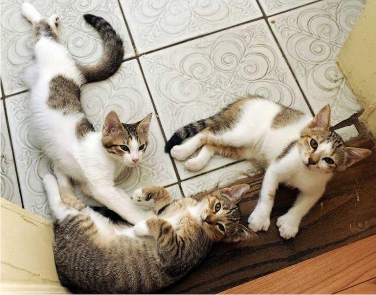 Conoce los magníficos gatos polidáctiles de Ernest Hemingway 15