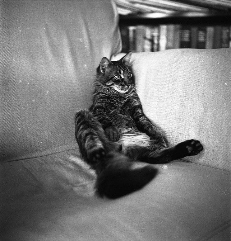 Conoce los magníficos gatos polidáctiles de Ernest Hemingway 7.1