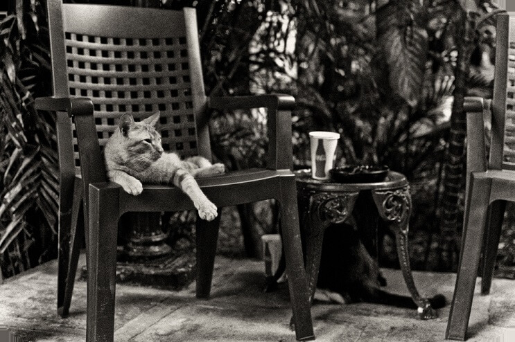 Conoce los magníficos gatos polidáctiles de Ernest Hemingway6.1