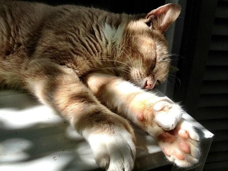 Conoce los magníficos gatos polidáctiles de Ernest Hemingway8.1