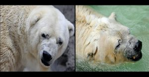 """El último adiós para Arturo: el oso polar """"más triste del mundo"""""""