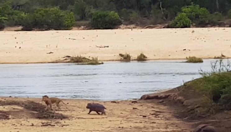 El amor de un hijo hacia su madre reflejado en este pequeño hipopótamo 2