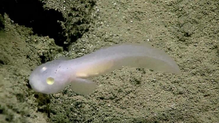 El hallazgo de este pez fantasma genera asombro incluso entre los científicos - pez