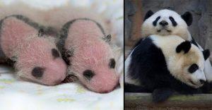 Un vídeo registró el momento exacto del nacimiento de pandas gemelas